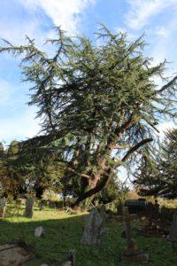 Large cedar tree in churchyard