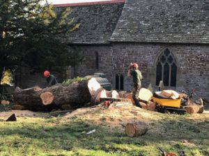 The cedar tree in the process of being chopped down in the churchyard