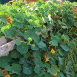 Orange nasturtium flowers