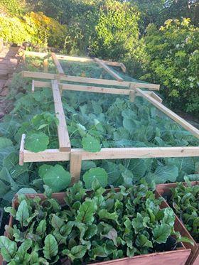 Lettuce leaves and nasturtium plants covered in netting