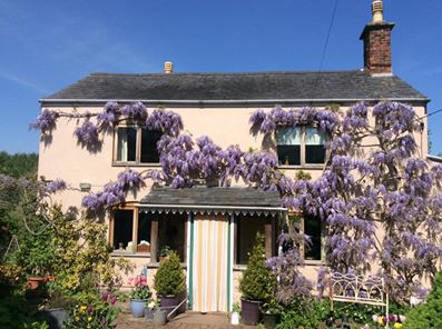 Cream coloured house covered in purple wisteria flowers