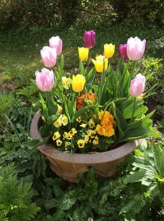 Pink, yellow and purple tulips in a pot