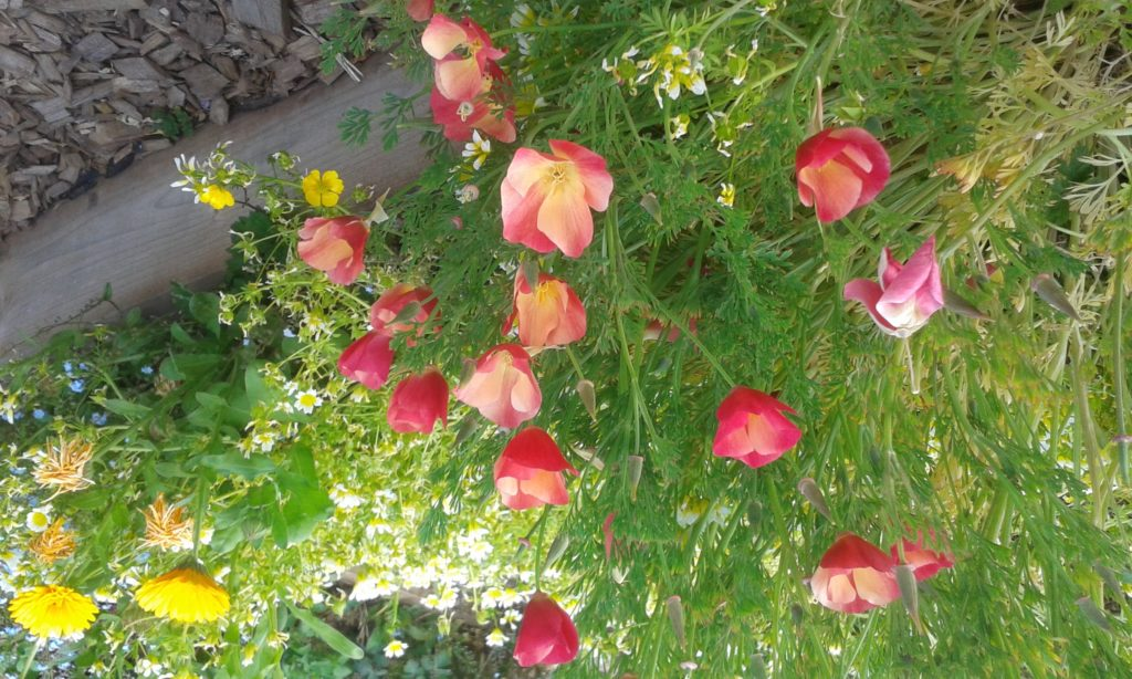 Orange and red Californian poppies