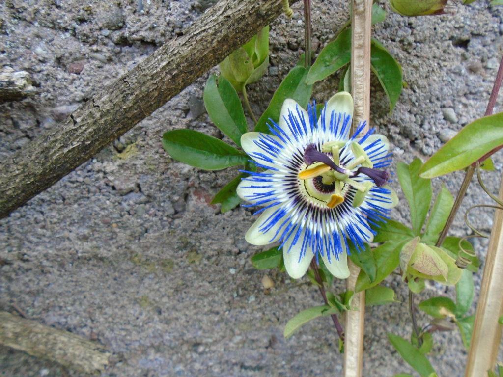 Blue coloured passion flower
