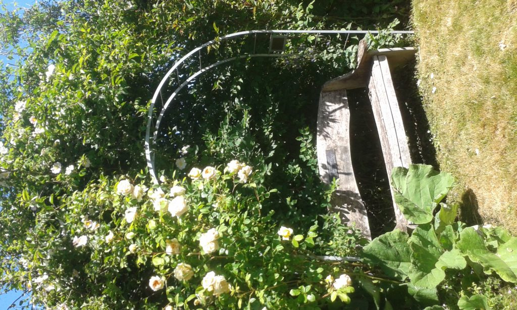 Roses growing over an arbor