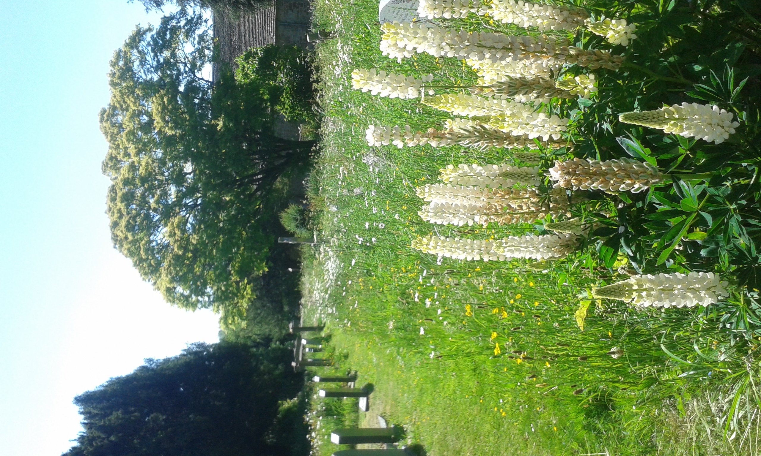 White lupins in the churchyard