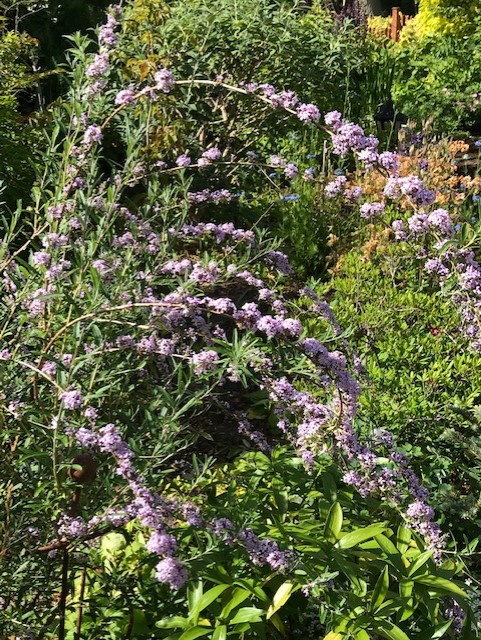 sprays of lilac flowers in a garden
