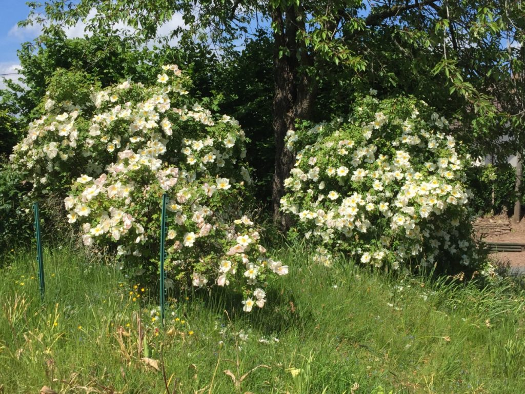 Two white rose bushes and a tree