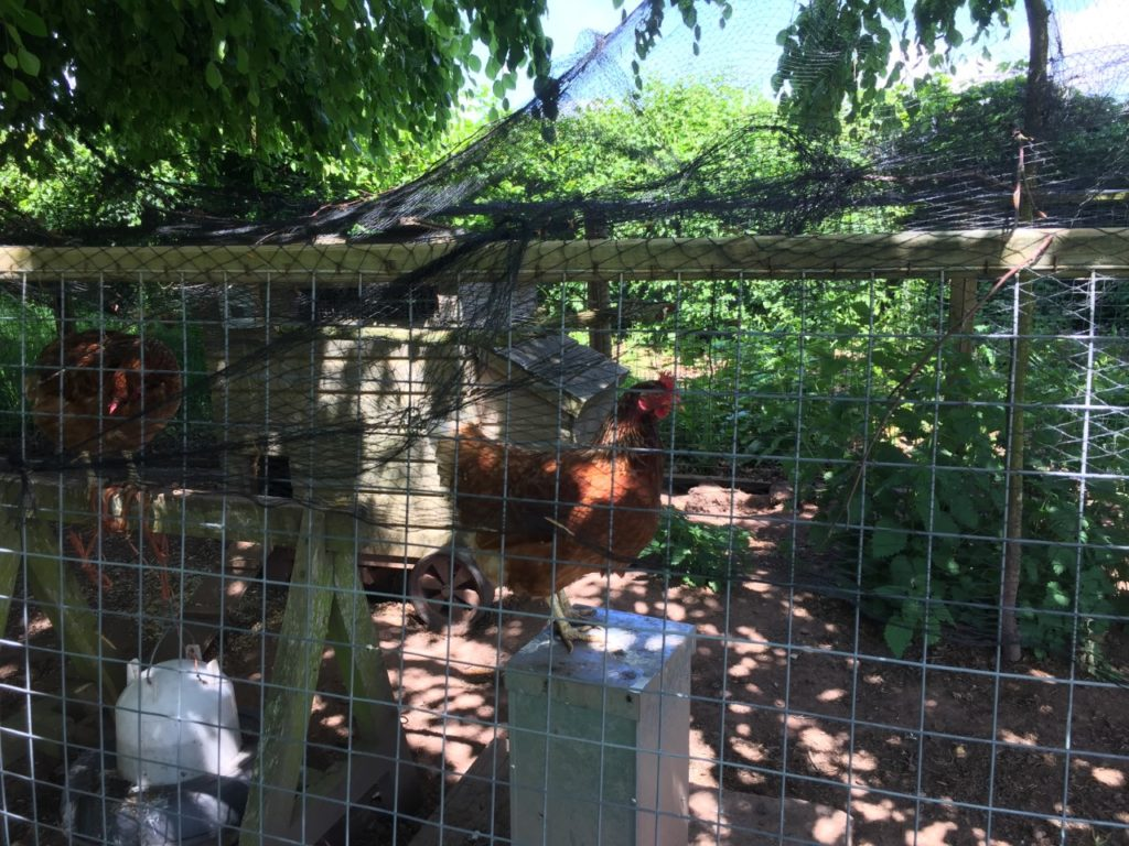 Two brown chickens in wire run with wooden hen house