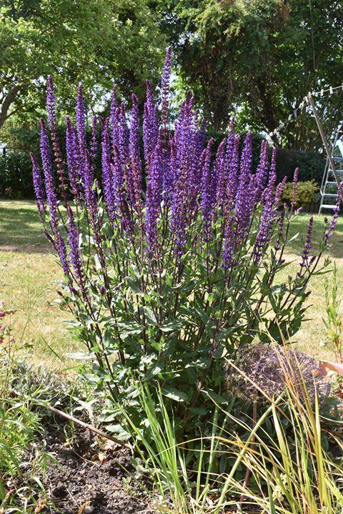 Purple spiky flowers
