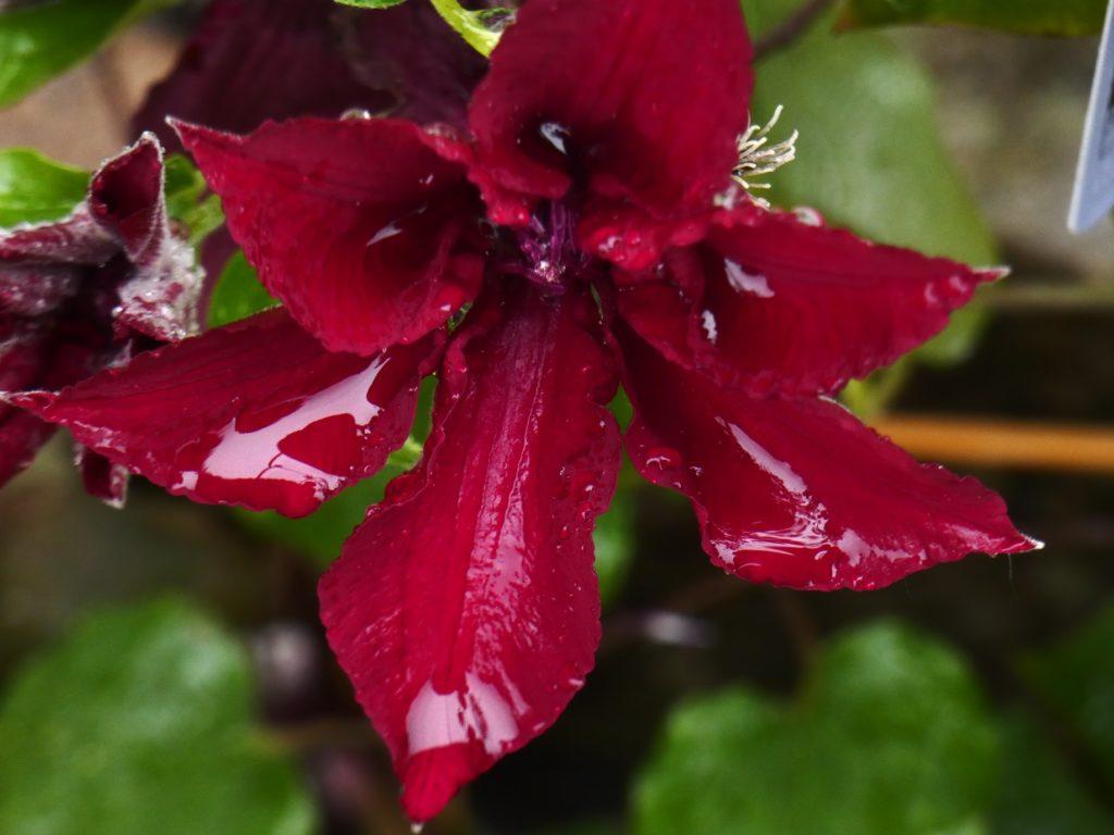 Crimson clematis flower