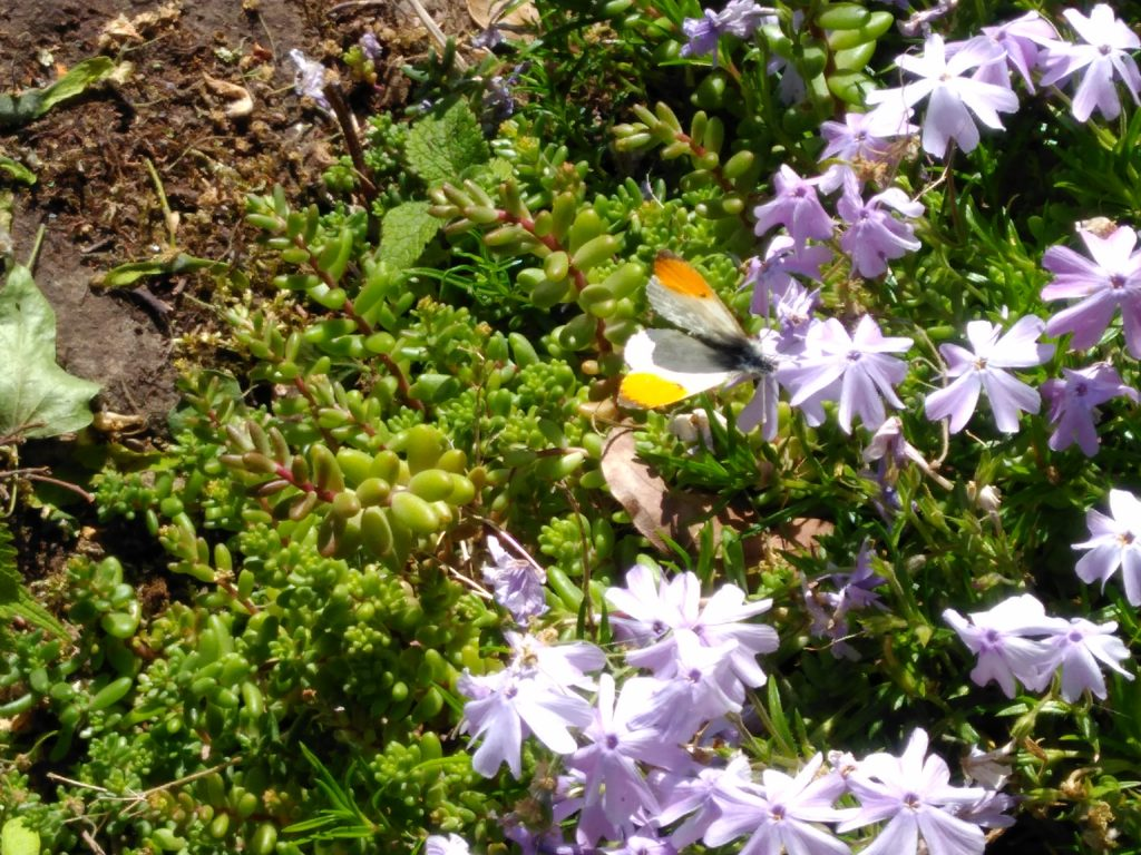 An orange and white butterly on lilac coloured flowers