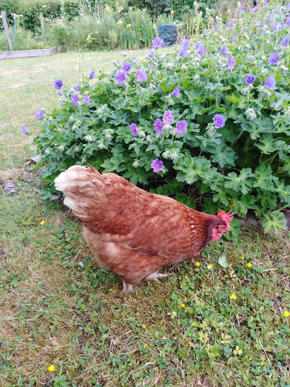 A brown chicken in front of purple geraniums