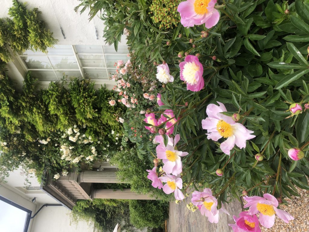Pink peonies and roses growing up the side of a white house
