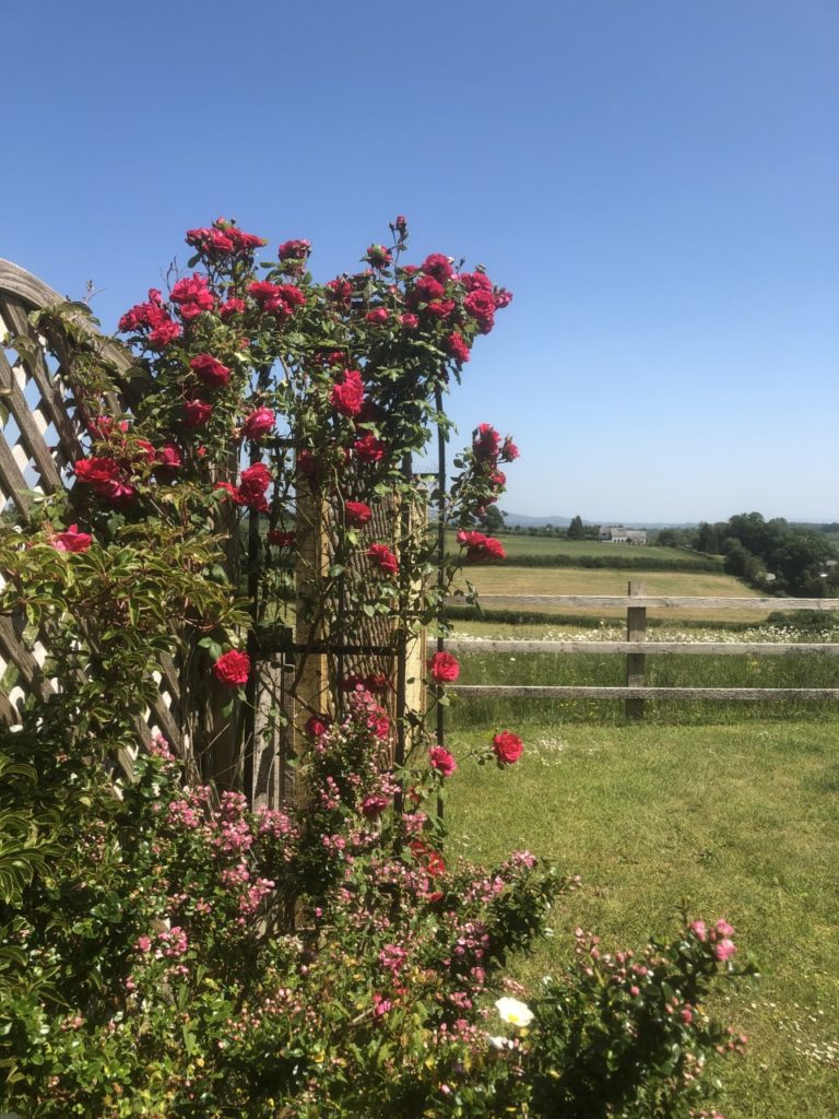 Climbing red roses in front of a field with a house in the distance
