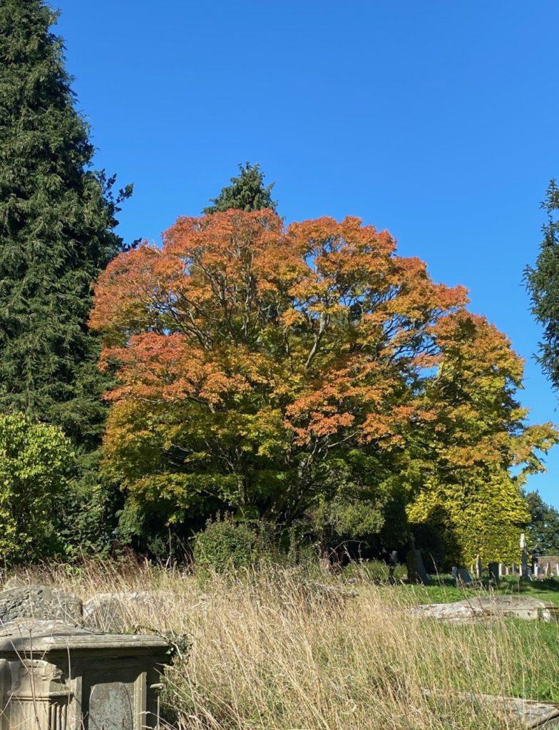 Field maple in the church yard