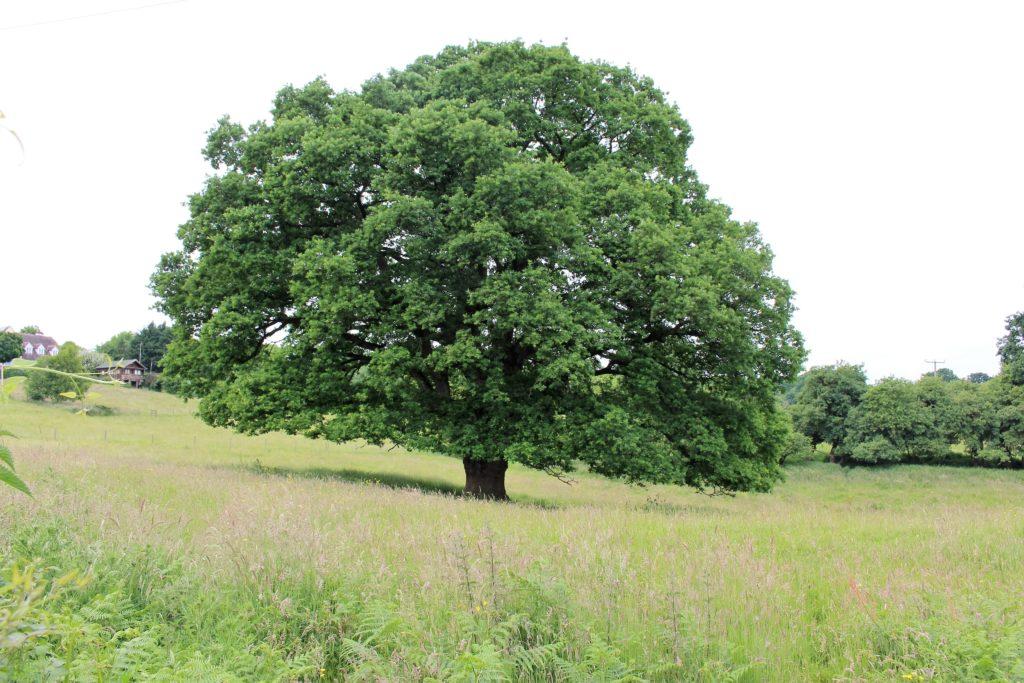 Old oak tree in a field