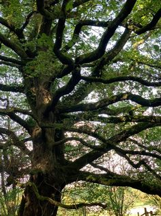 An oak tree in the woods