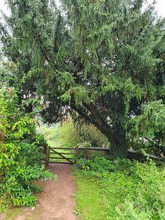 Yew tree in the church yard