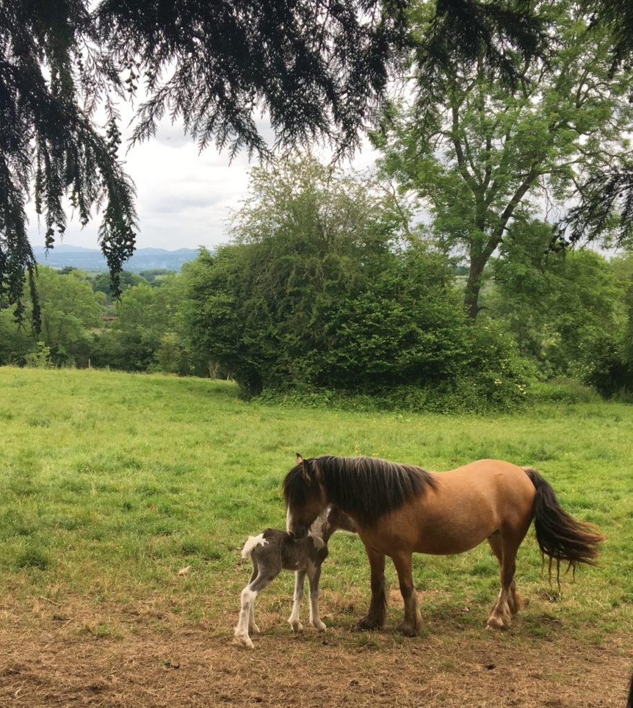 A brown pony and foal in a field