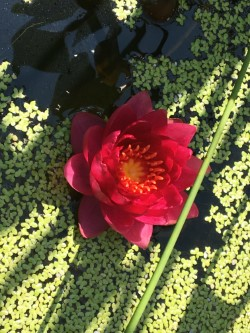 A red water lily