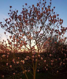 A magnolia tree in a garden