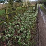 Snowdrops with white flowers in front of a wooden fence
