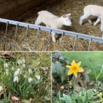 a phtograph of lambs, a daffodil and snowdrops