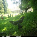 A pigeon in flight in front of gravestones.